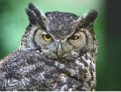 Google Images Owls