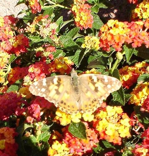 a-beautiful-butterfly-flowers-2652389-480-500