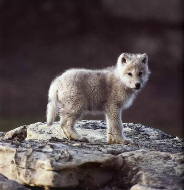 baby_wolf_cub-600x618